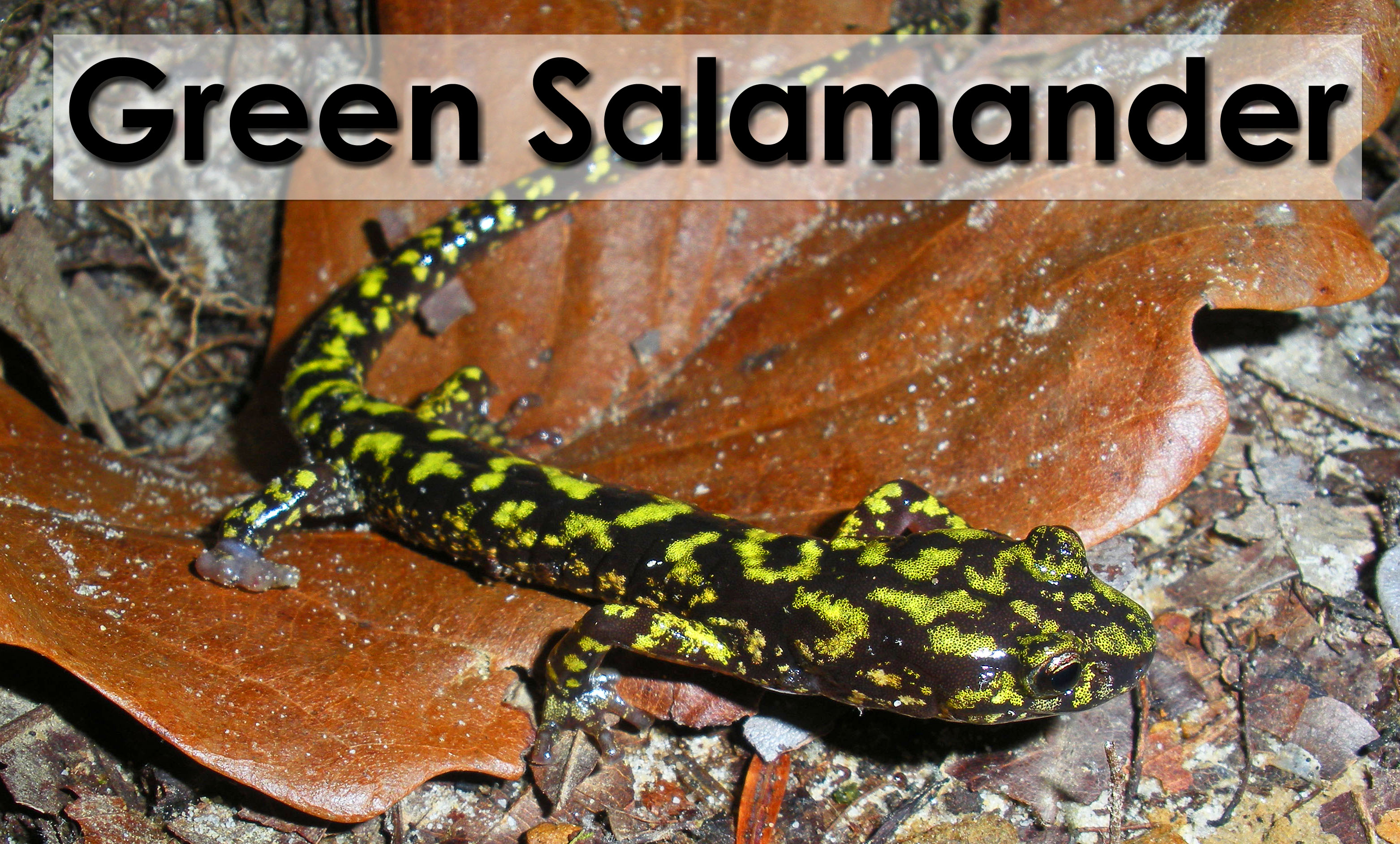 Picture of green salamander